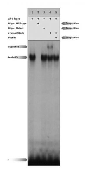 c-Jun antibody (pAb) tested by supershift.