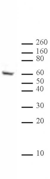 Ikaros antibody (mAb) tested by Western blot.