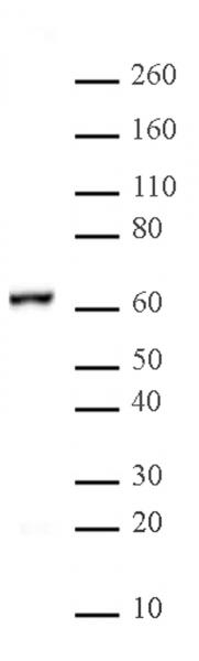 NFκB p65 antibody (pAb) tested by Western blot.
