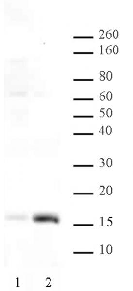 Histone H3K36ac antibody (pAb) tested by Western blot.