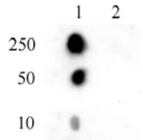 Histone H2AT120ph antibody (pAb) tested by dot blot analysis.