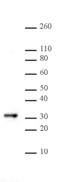 Bcl10 antibody (mAb) tested by Western blot.