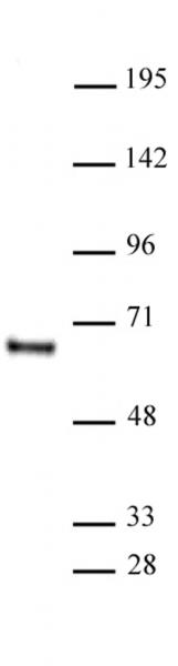 HDAC1 antibody (mAb) tested by Western blot.