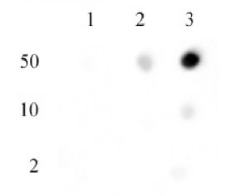 Histone H3 di/trimethyl Lys27 antibody specificity tested by Dot blot.