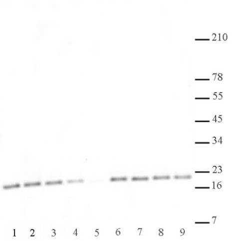 Histone H3K27me2me3 antibody (mAb) tested by Western blot.