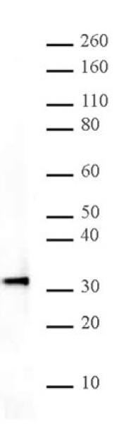 HMG-1 antibody (pAb) tested by Western blot.