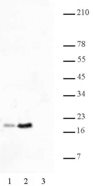 Histone H2BK46ac antibody (pAb) tested by Western blot.
