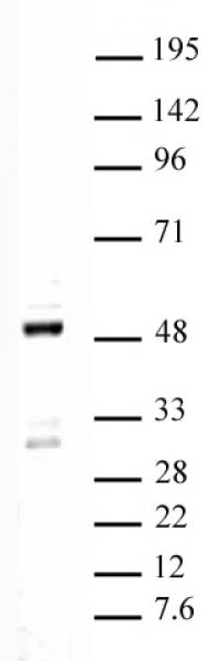 Ets-1 antibody (pAb) tested by Western blot.