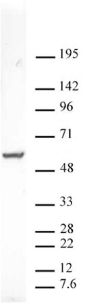 PXR antibody (pAb) tested by Western blot.