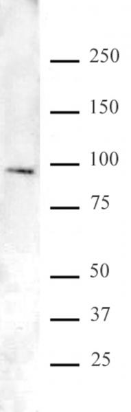 FOXO1/FKHR antibody (pAb) tested by Western blot.