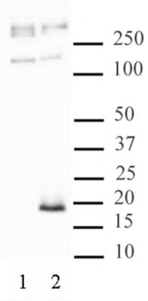 Histone H3.3S31ph antibody (pAb) tested by Western blot.
