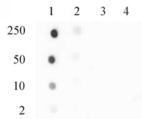 Histone H3.3S31ph antibody (pAb) tested by dot blot analysis.
