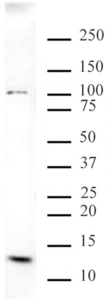 Histone H4K20me3 antibody (mAb) tested by Western blot.