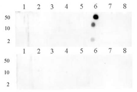 Histone H3R8me1 antibody (pAb) tested by dot blot analysis.
