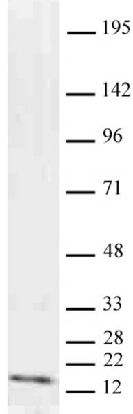 Histone H3K9me2 antibody (mAb) tested by Western blot.