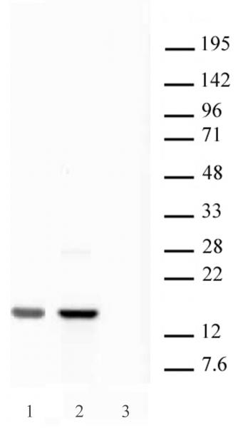 Histone H2A.X antibody (pAb) tested by Western blot.