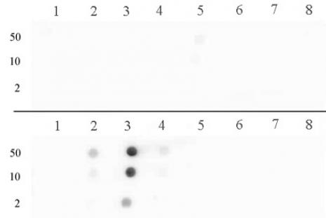 Histone H3R17me2a (asymmetric) antibody (pAb) tested by dot blot analysis.