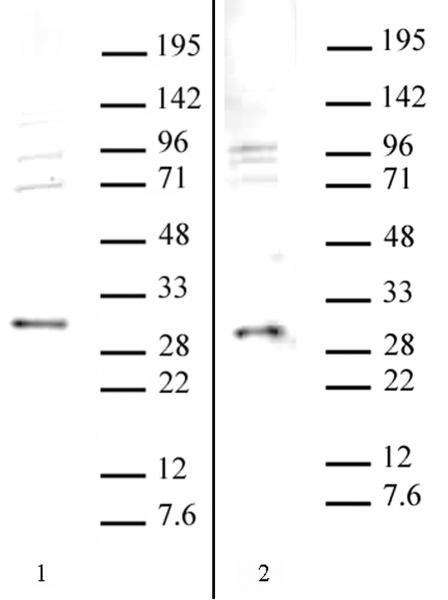 SAP30 antibody (pAb) tested by Western blot.