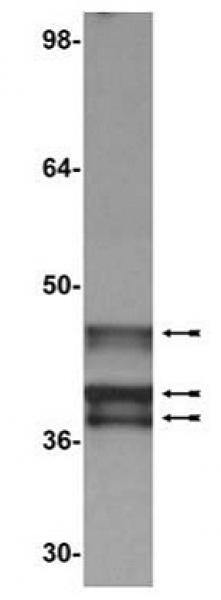 E1A antibody (mAb) tested by Western blot.
