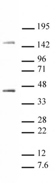 Oct-4 antibody (pAb) tested by Western blot.