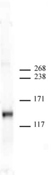 JMJD2A antibody (mAb) tested by Western blot.