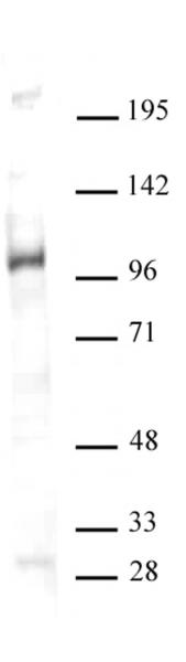 GCN5 antibody (pAb) tested by Western blot.