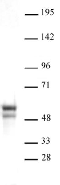 NAP1L1 antibody (pAb) tested by Western blot.