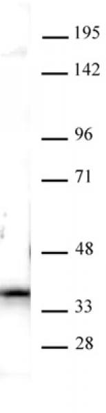 Nucleophosmin antibody (pAb) tested by Western blot.