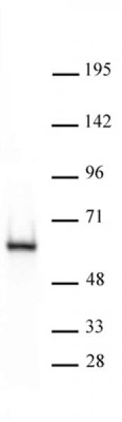 HDAC2 antibody (mAb) tested by Western blot.