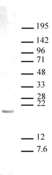 Histone H3K27me1 antibody (pAb) tested by Western blot.