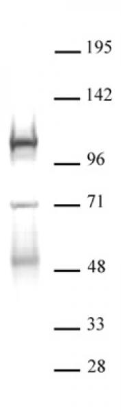 DNMT3B antibody (pAb) tested by Western blot.