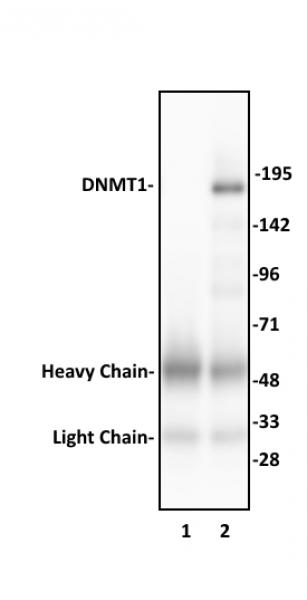 DNMT1 antibody (pAb) tested by immunoprecipitation.