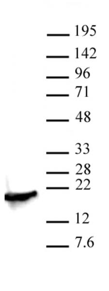 Histone H3K4me2 antibody (pAb) tested by Western blot.