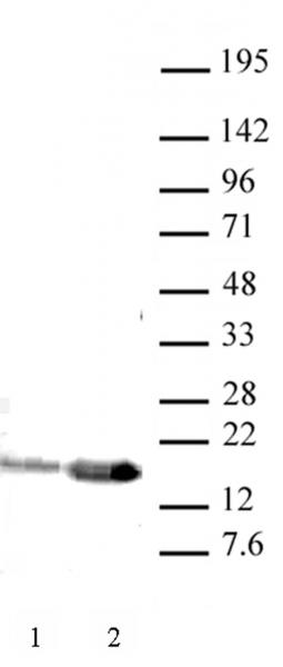 Histone H3K9ac antibody (pAb) tested by Western blot.