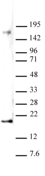 Histone H3K27me2 antibody (pAb) tested by Western blot.