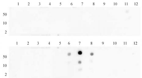 Histone H3K27me2 antibody (pAb) tested by dot blot analysis.
