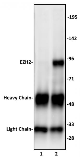 EZH2 antibody (pAb) tested by immunoprecipitation.