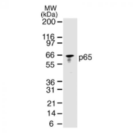 NFκB p65 antibody (mAb) tested by Western blot.