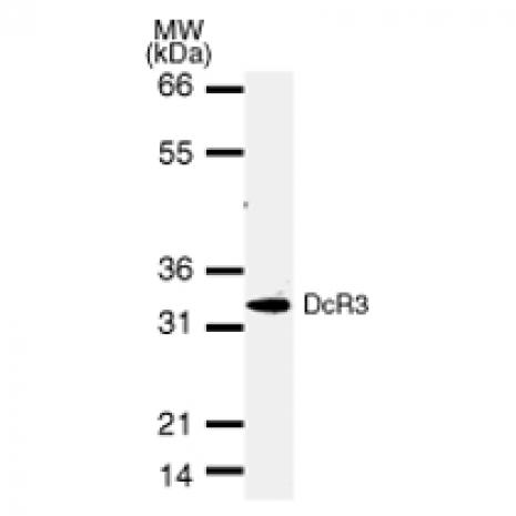 DcR3 antibody (mAb) tested by Western blot.