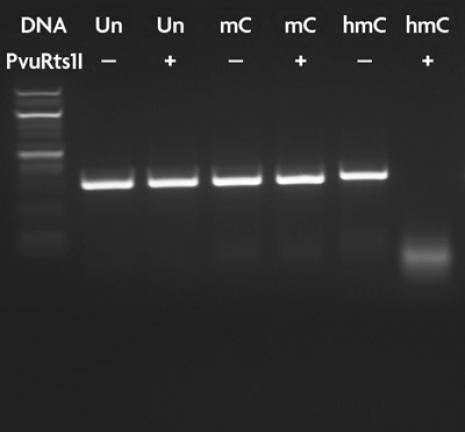 PvuRts1 I restriction enzyme digestion of 5-hmC DNA.