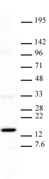 Histone H3K27me1 antibody (mAb) tested by Western blot.