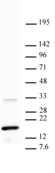Histone H3K36me3 antibody (mAb) tested by Western blot.
