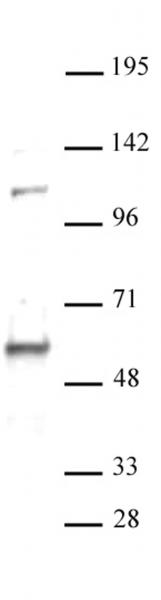 RAP1 / TERF2IP antibody (pAb) tested by Western blot.