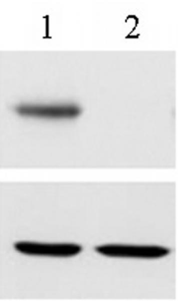 RBPJ antibody (mAb) tested by Western blot.