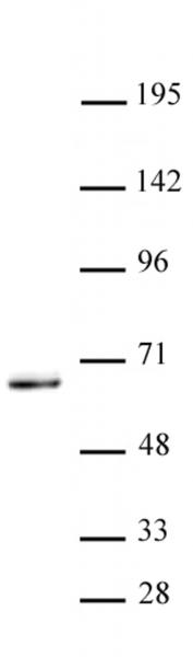 KLF5 antibody (pAb) tested by Western blot.