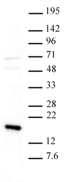 Histone H3K36me3 antibody (pAb) tested by Western blot.