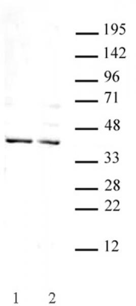 Goosecoid antibody (pAb) tested by Western blot.