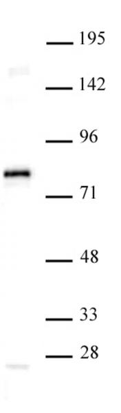TCF7L1 / TCF3 antibody (pAb) tested by Western blot.