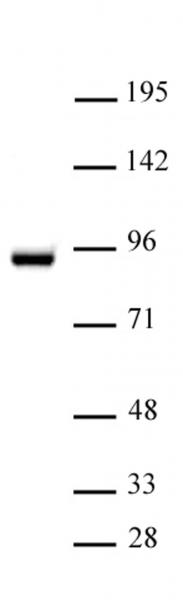 STAT5A antibody (pAb) tested by Western blot.