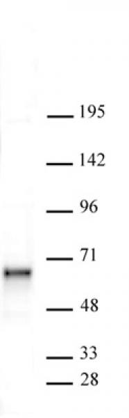 Sox11 antibody (pAb) tested by Western blot.
